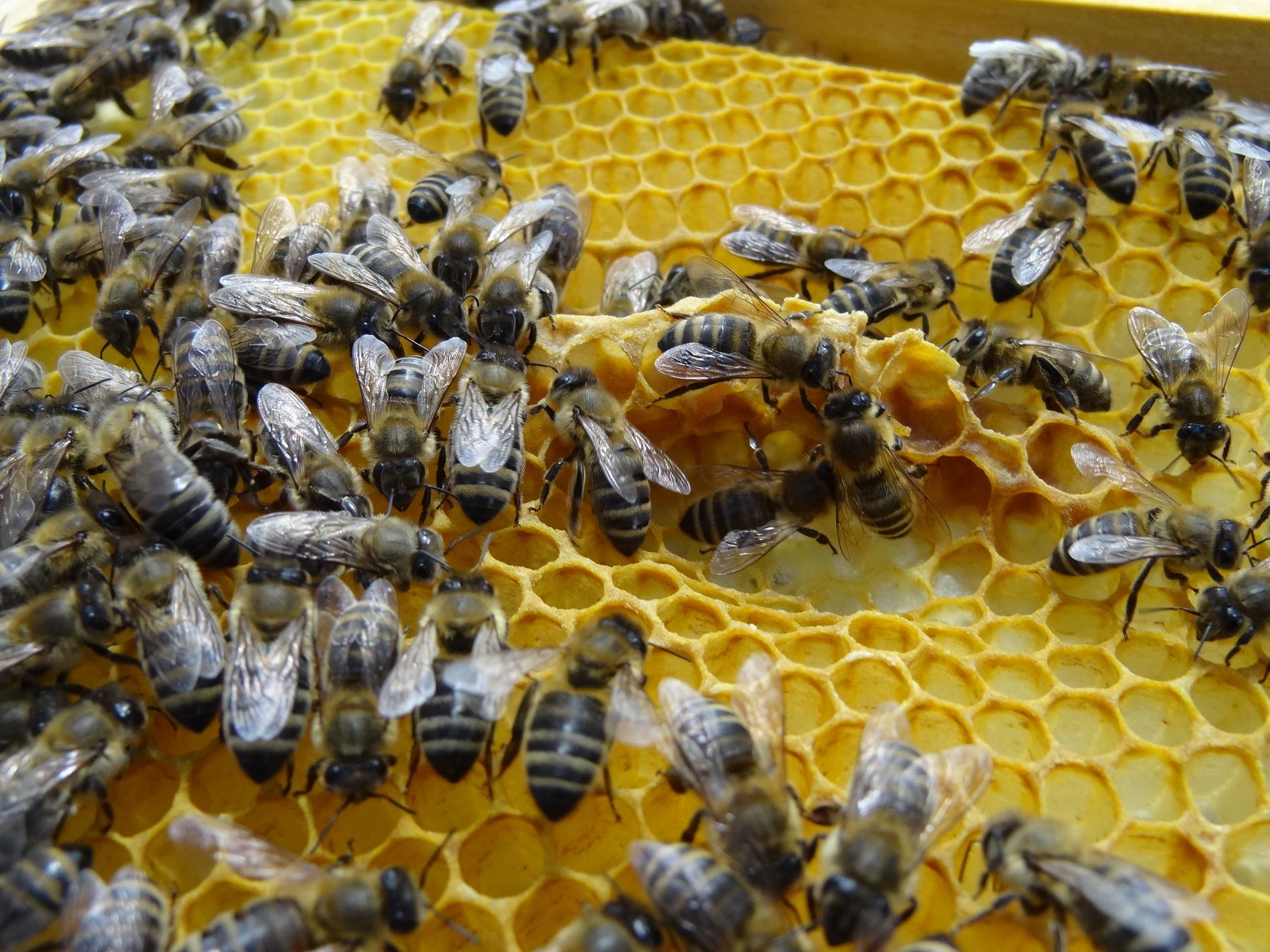 Bio Imkerei Bramreither - Mühlviertel - Bienenwachs