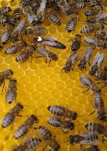 Bienenkoenigin
