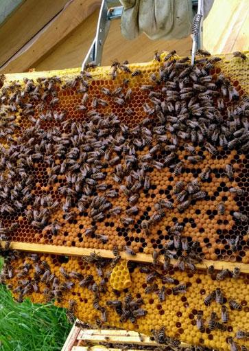 Wir imkern - Brutwabe der Bienen