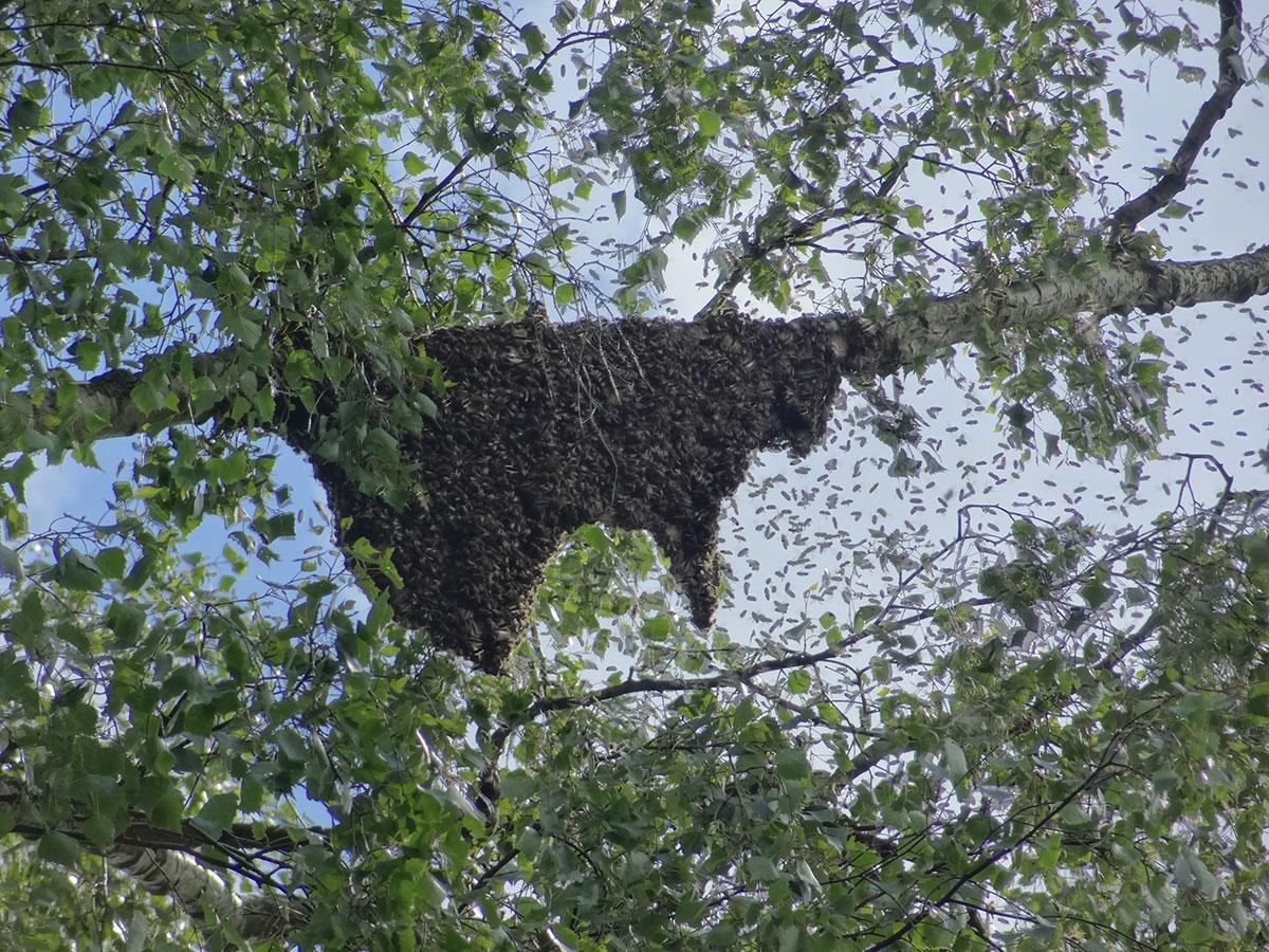Imkerei Bramreither - Bienenschwarm - Helfenberg - Penning - Mühlviertel - Ahorn