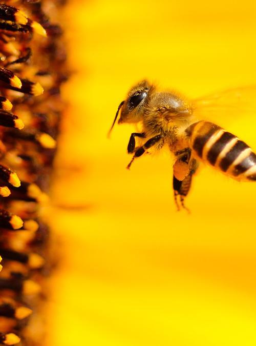 Bio Imkerei Bramreither - Bienenpatenschaft im Mühlviertel - Bienenpate in Oberösterreich werden - Helfenberg - Penning