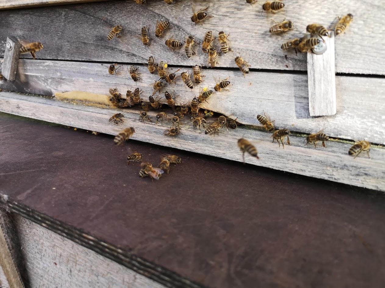 Bio Imkerei Bramreither - Biene - Pollen sammeln - Mühlviertel - Rohrbach - Helfenberg - Penning - Honig - Frühling kommt