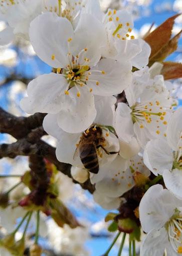 Bio Imkerei Bramreither in Penning (Helfenberg im Bezirk Rohrbach) - Mühlviertel - Honig - Biene auf Blüte