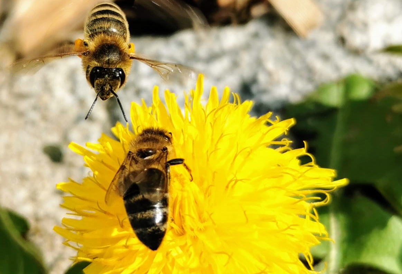 Bio Imkerei Bramreither - Mühlviertel - Rohrbach - Helfenberg - Penning - Löwenzahn blüht - Bienen fliegen