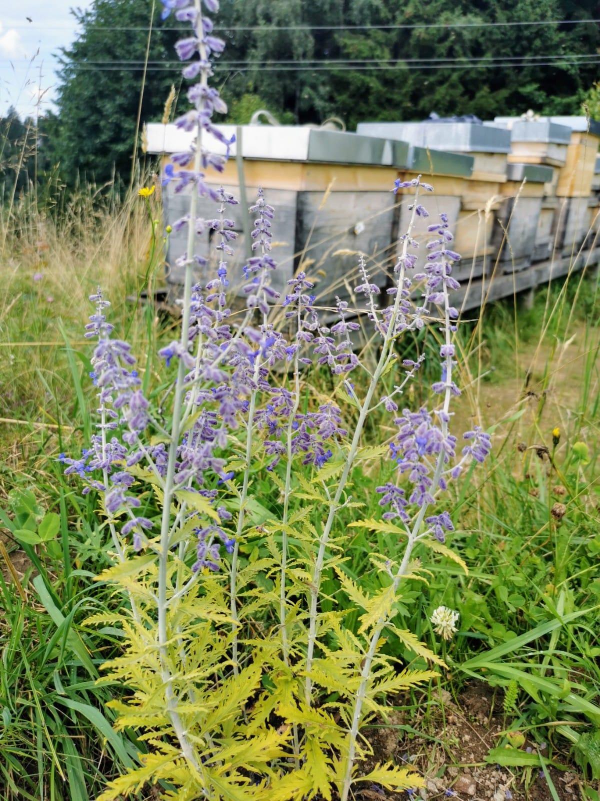 Blühstreifen - Bio Imkerei Bramreither - Mühlviertel - Rohrbach - Helfenberg - Penning - Bienenstöcke