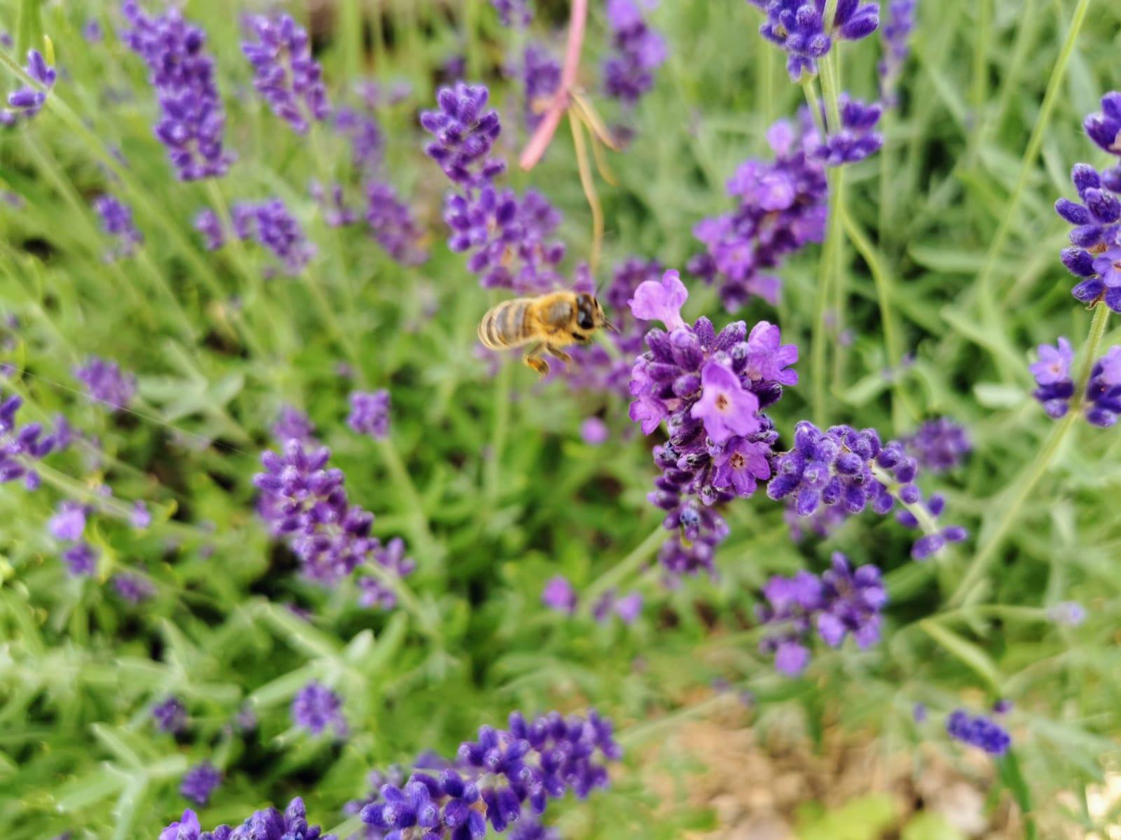 Eine Nahrungs- und Spielwiese für Bienen und Insekten - Lavendel - Biene - Bio Imkerei Bramreither - Mühlviertel - Rohrbach - Penning