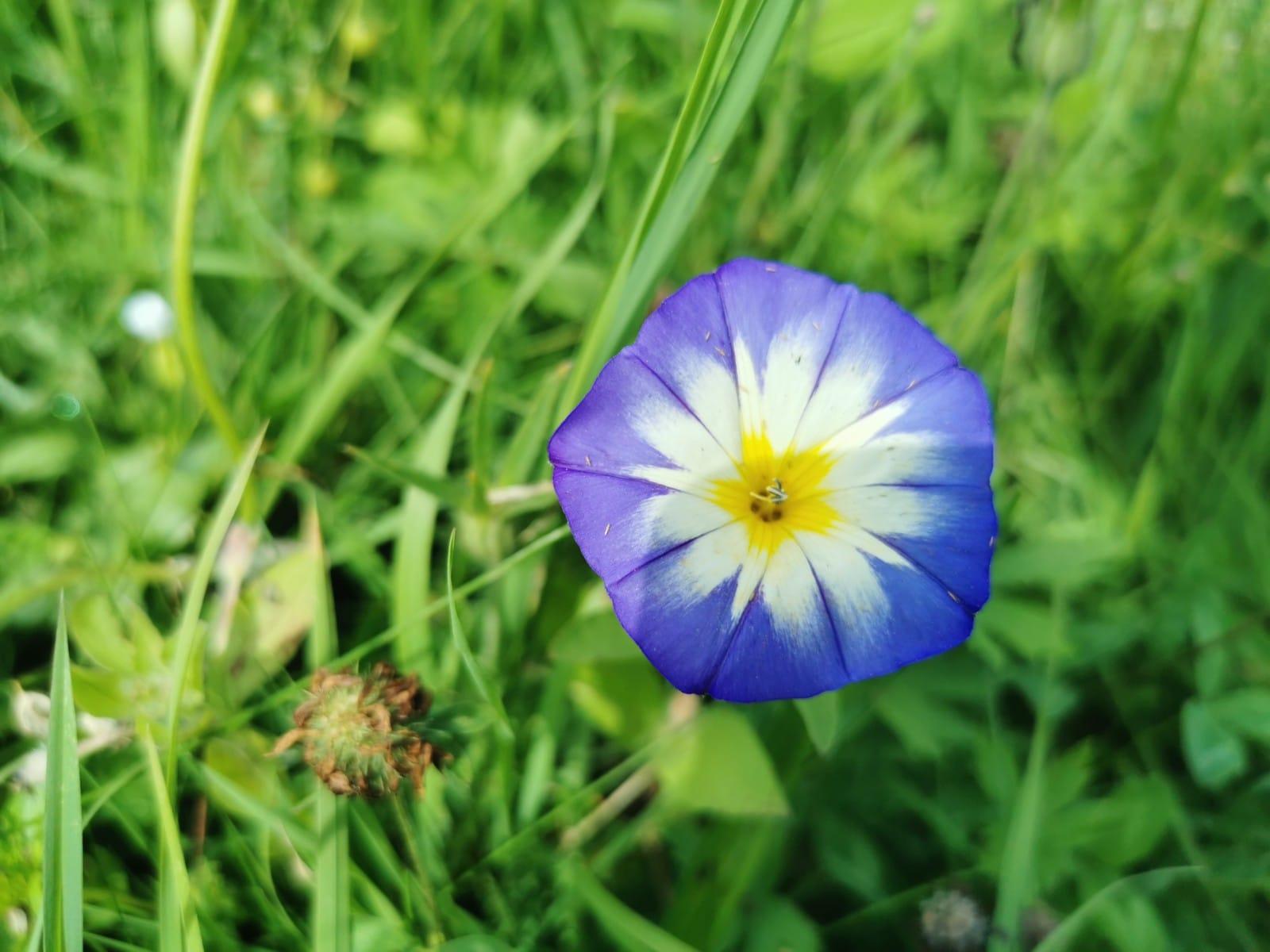 Blühstreifen - Bio Imkerei Bramreither - Mühlviertel - Rohrbach - Helfenberg - Penning - Blaue Blume groß