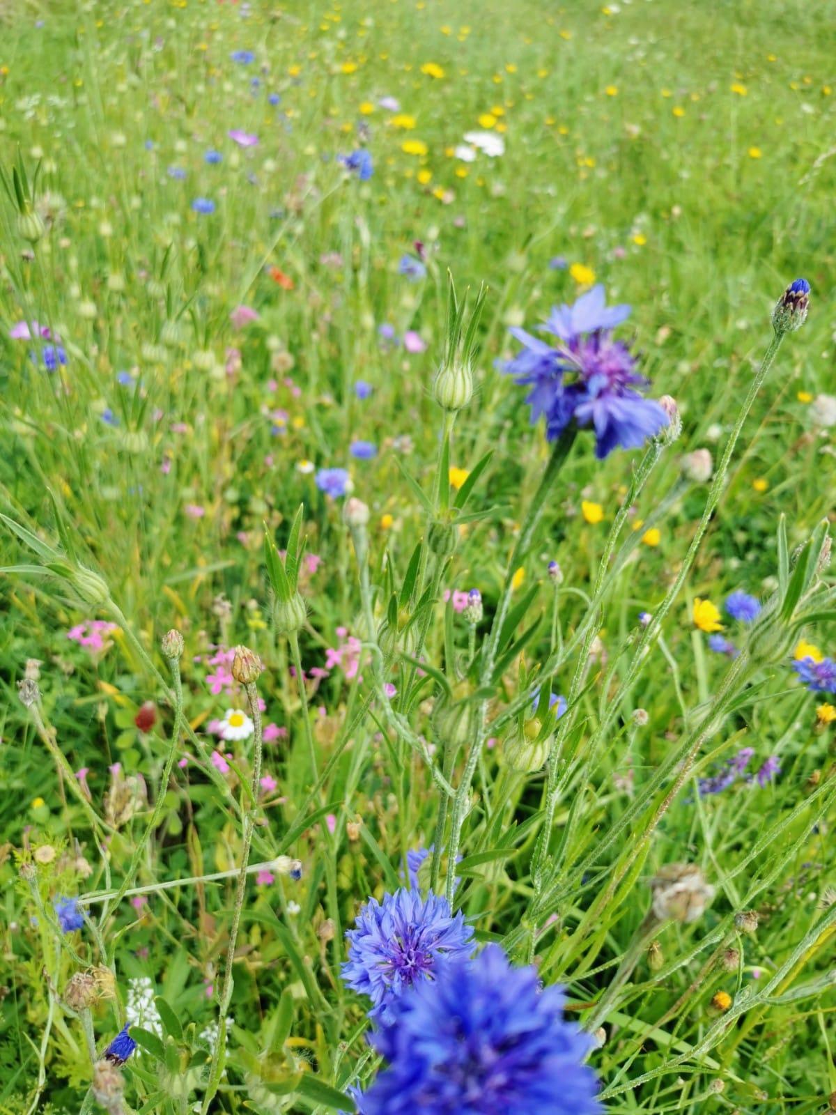 Blühstreifen - Bio Imkerei Bramreither - Mühlviertel - Rohrbach - Helfenberg - Penning - Blaue Blumen