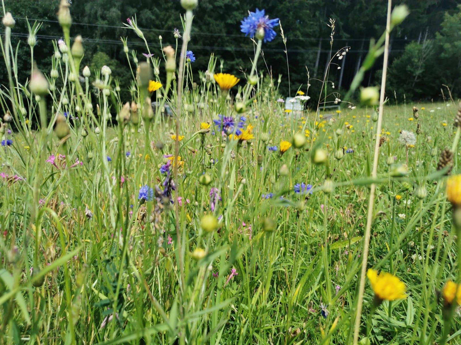 Blühstreifen - Bio Imkerei Bramreither - Mühlviertel - Rohrbach - Helfenberg - Penning - Bunte Blumen