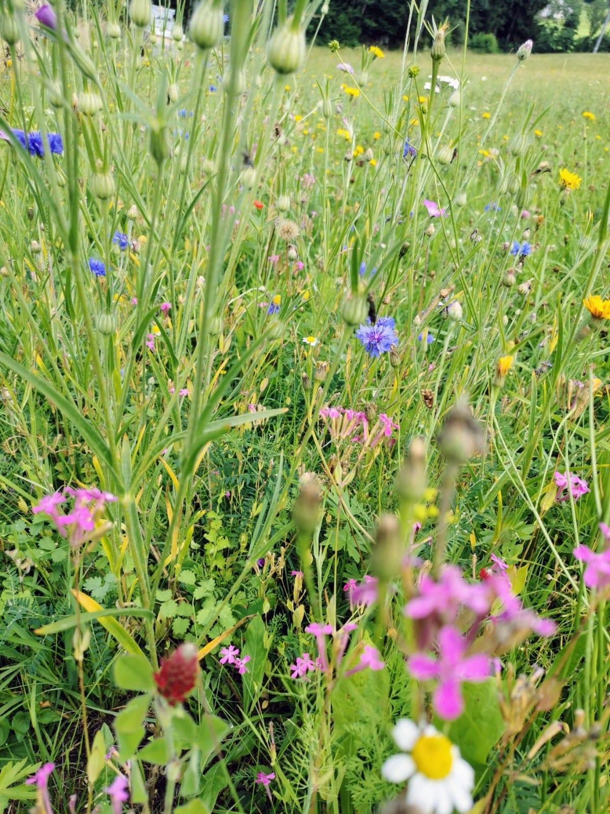 Blühstreifen am Bienenstand - Bio Imkerei Bramreither - Mühlviertel - Rohrbach - Helfenberg - Penning - bunte Blumen