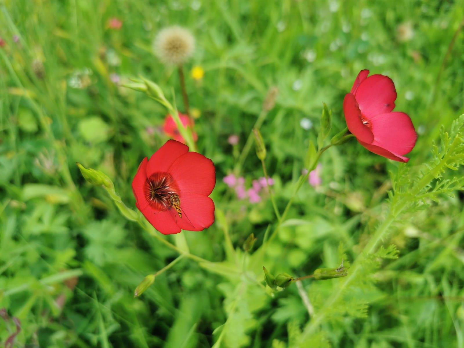 Blühstreifen am Bienenstand - Bio Imkerei Bramreither - Mühlviertel - Rohrbach - Helfenberg - Penning - rote Blumen