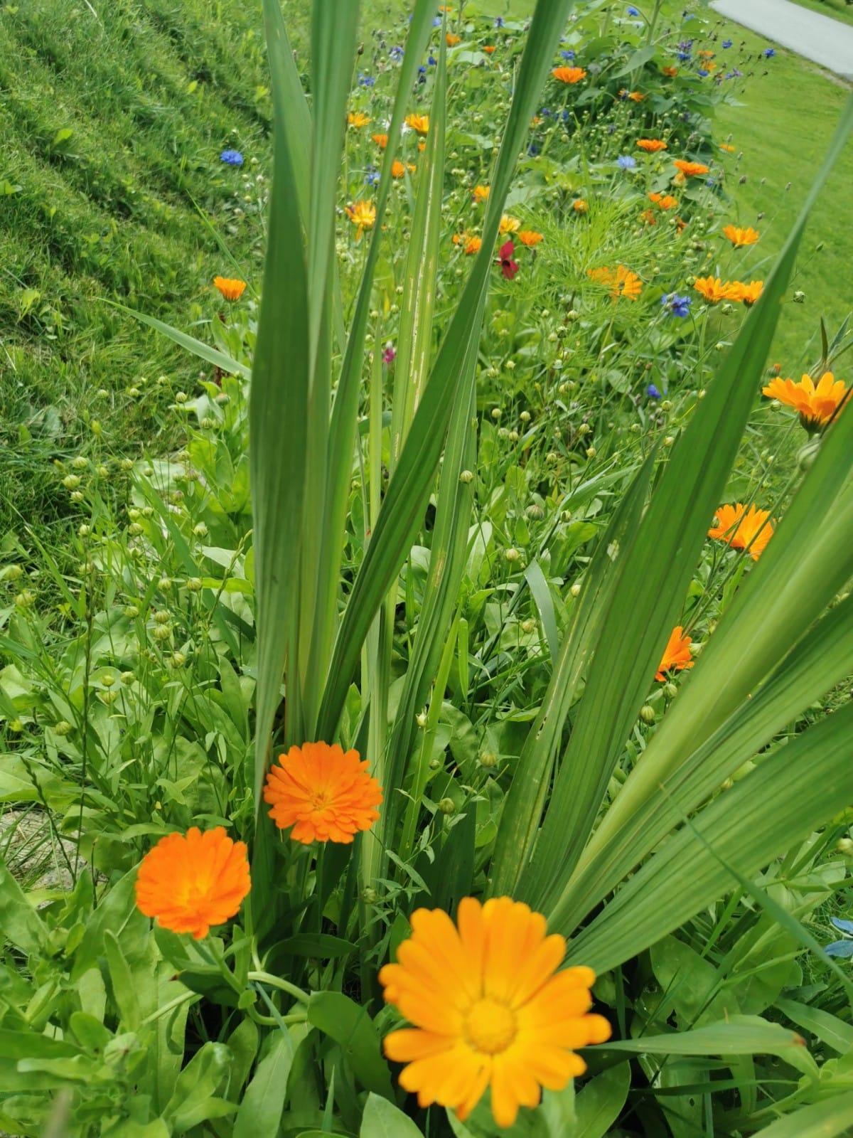 Blühstreifen am Bienenstand - Bio Imkerei Bramreither - Mühlviertel - Rohrbach - Helfenberg - Penning - orange Blumen